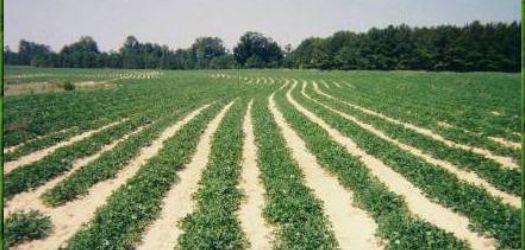 2013 Peanut Crop Perseveres