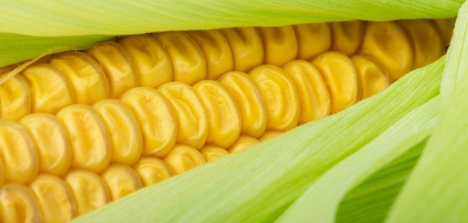 Micro-managing Nutrients Plays Role in Large Corn Yield