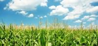 Micro-Managing Corn Will Bring in Big Yields