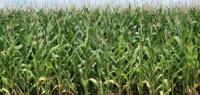 Mid-Season Soil Sampling for  Micronutrients in Corn Fields
