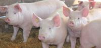 Pork Producers Need to Continue Vigilance for PEDv