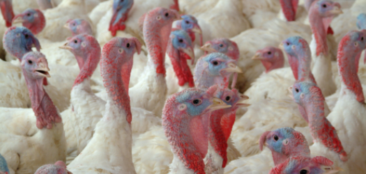 As 2014 rushes closer to the end, most U.S. turkey producers find themselves in a pretty good situation. Gary Crawford has more....