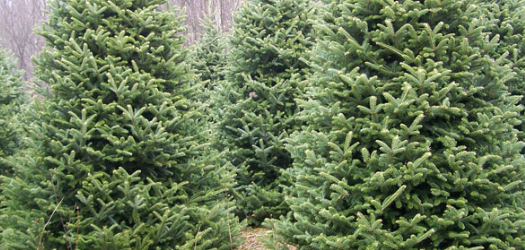 In the mountains of North Carolina, Christmas tree harvest is in full swing. Bill Glenn, Marketing Specialist with NCDA says this year...