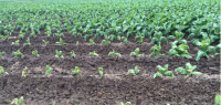 Tobacco Crop Condition Remains to be Seen After Heat Wave