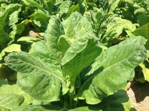 Calcium Deficiency Tobacco
