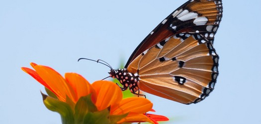 Looking Behind Petition to List Monarch as Endangered