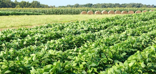 Clemson Extension to host Annual Corn and Soybean Growers