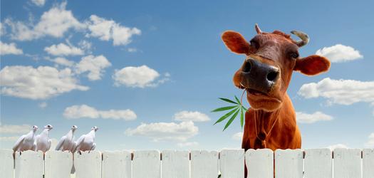 Hemp as Cattle Feed?