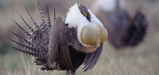 CRP Could Help Protect Sage Grouse