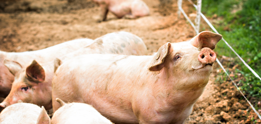 Mythbusting Pig Farming